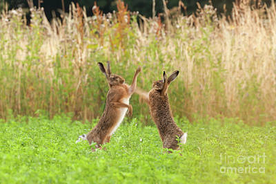European Hare Wall Art - Photograph - Mad Wild Hares Boxing And Fighting In Norfolk Uk by Simon Bratt Photography LRPS