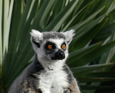 Photograph - Madagascan Palm And Lemur by Margaret Saheed