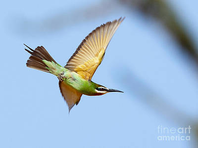 Photograph - Madagascar Bee Eater In Flight by Tony Mills