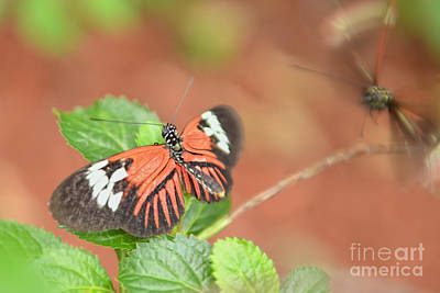 Photograph - Madiera Butterflies by Olga Hamilton