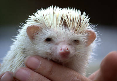 Photograph - Mae The Hedgehog by Jeanette C Landstrom