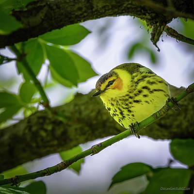 Photograph - Magee Marsh Cape May Warbler by LeeAnn McLaneGoetz McLaneGoetzStudioLLCcom