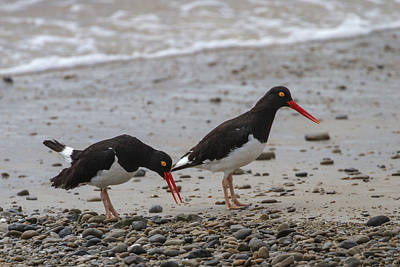 Photograph - Magellanic Oystercatchers by John Haldane