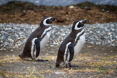 Photograph - Magellanic Penguins by John Haldane