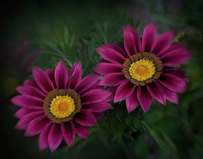 Art Print featuring the photograph Magenta African Daisies by David and Carol Kelly