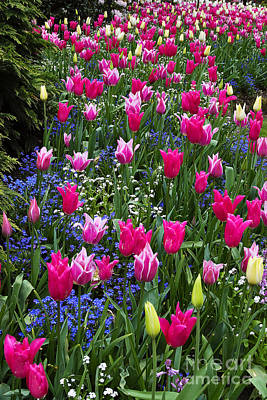 Spring Bulbs Photograph - Magenta And White Tulips by Louise Heusinkveld