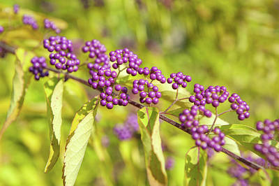 Photograph - Magenta Berries Of Callicarpa Bodinieri by Jenny Rainbow