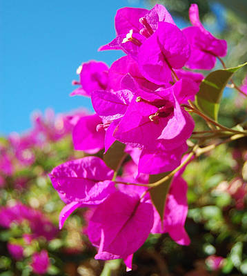 Magenta Bougainvillea Art Print by Jean Booth