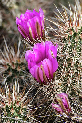 Photograph - Magenta Cactus Flowers by Phyllis Peterson