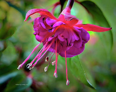 Photograph - Magenta Fuchsia by Denis Lemay