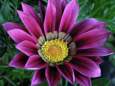 Photograph - Magenta Gazania Flower by David and Carol Kelly