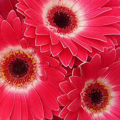 Sunflower Painting - Magenta Gerber Daisies by Amy Vangsgard
