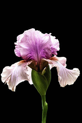 Photograph - Magenta Iris by Mike Stephens