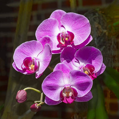 Photograph - Magenta Orchids by Bob Slitzan