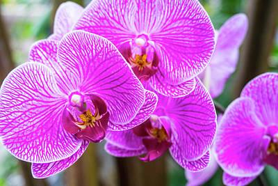 Photograph - Magenta Orchids by Jennifer Lycke