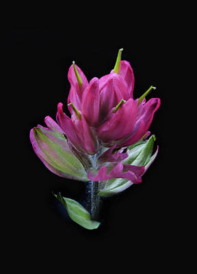 Photograph - Magenta Paintbrush On Black by Morris  McClung