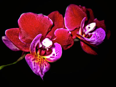 Photograph - Magenta Phaleonopsis Orchid by Joyce Dickens