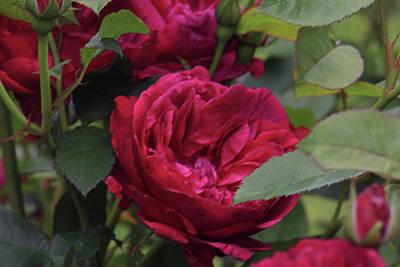 Caravaggio - Magenta Rose by Jodi Vetter