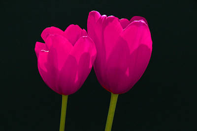 Photograph - Magenta Tulips On Black by Allen Beatty