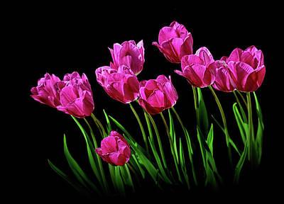 Photograph - Magenta Tulips On A Black Background by Carolyn Derstine