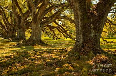 Photograph - Majestic Louisiana Oaks by Adam Jewell
