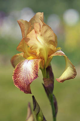 Photograph - Magic Carpet 2.the Beauty Of Irises by Jenny Rainbow