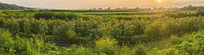 Photograph - Magic Hour Sunflower Panorama by Angelo Marcialis