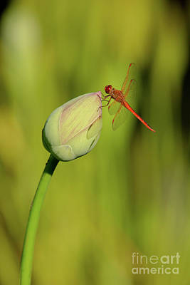 Photograph - Magical Red Mosquitohawk by Sabrina L Ryan