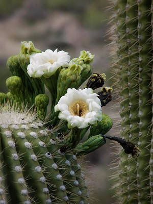 Photograph - Magnificant Bloom Of The Saguaro by Lucinda Walter