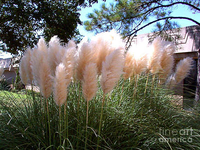 Photograph - Magnificant Magestic Pampas Grass by Merton Allen