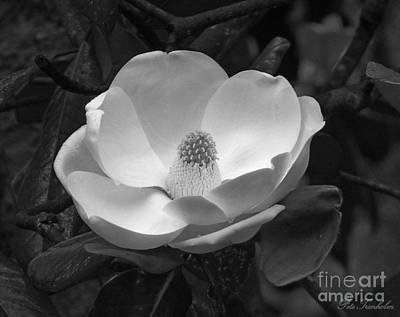 Photograph - Magnificant Magnolia Bw by Pete Trenholm