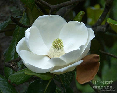 Photograph - Magnificant Magnolia by Pete Trenholm