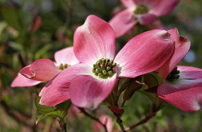 Photograph - Magnificent Dogwood Flower by Michele Myers