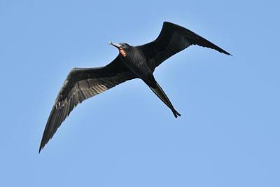 Photograph - Magnificent Frigatebird In Flight by Bradford Martin