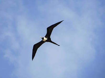 Photograph - Magnificent Frigatebird In Flight by Helissa Grundemann