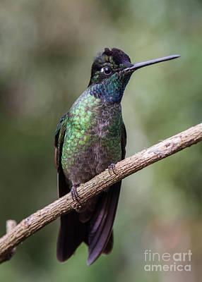 Photograph - Magnificent Hummingbird 1 by Chris Scroggins