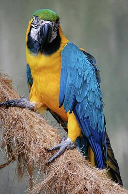 Magnificent Macaw Print by DigiArt Diaries by Vicky B Fuller
