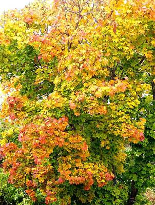 Photograph - Magnificent Maple by Will Borden