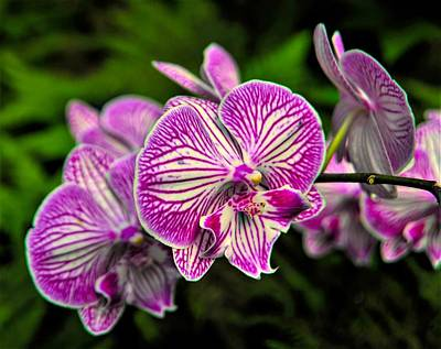 Phalenopsis Photograph - Magnificent Moth Orchid by Heidi Fickinger