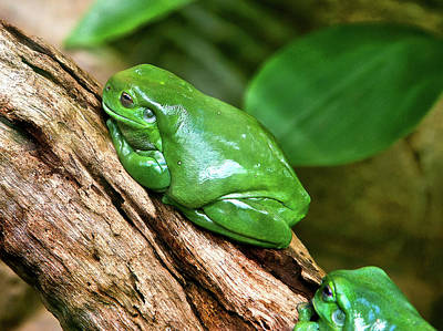 Photograph - Magnificent Tree Frog by Miroslava Jurcik