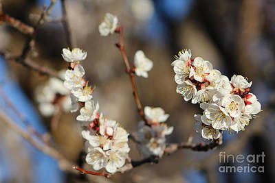 Photograph - Magnificent Wild Apricot Display by Dale Jackson