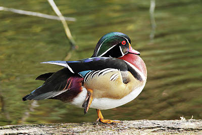 Photograph - Magnificient Wood Duck by Craig Strand
