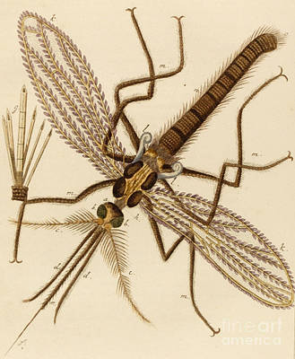 Magnified Drawing - Magnified Mosquito by German School