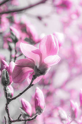 Photograph - Magnolia Bloom II Bwp by Pamela Williams
