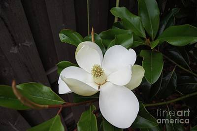 Photograph - Magnolia 3 by Megan Cohen