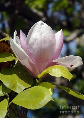 Photograph - Magnolia 4 by Rudi Prott