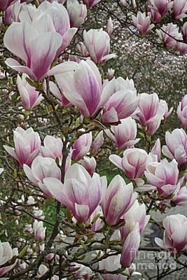 Photograph - Magnolia 7 by Rudi Prott