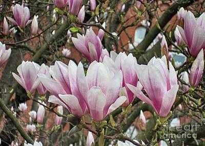 Photograph - Magnolia 8 by Rudi Prott