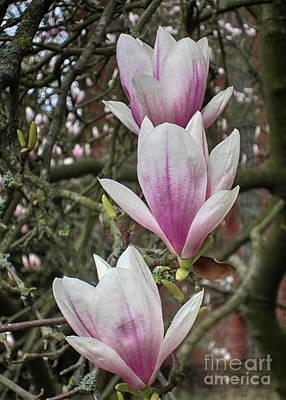 Photograph - Magnolia 9 by Rudi Prott