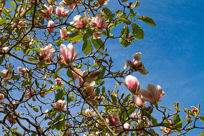 Photograph - Magnolia Ala Tiffany by Bonnie Follett